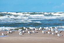 Beautiful Black-headed Seagulls Birds Staying Together On The Sandy Beach With Sea With Waves On Background