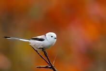 Long-tailed Tit. Bird. Aegithalos Caudatus