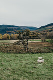scottish landscape with sheep
