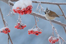 Crested Tit. Bird In Winter. L...