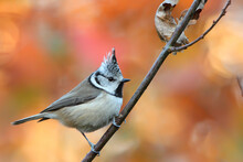 Crested Tit. Bird In Forest. L...