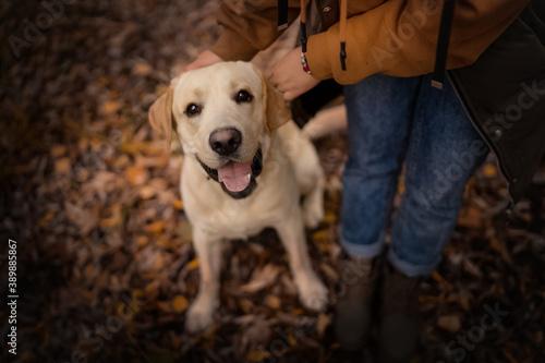 Fotografiet Labrador retriever dog