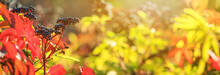 Autumn View Of Black Elderberry In The Rays Of The Autumn Sun, Banner With Selective Focus And Space For Text