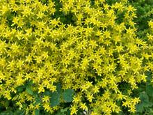 Sedum Acre, A Perennial Herbac...