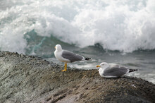 Yellow-legged Gulls Larus Mich...