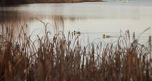 Reflection Of Dry Stalks Of Gr...