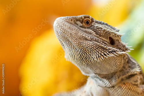 Fotografía bearded dragon lizard
