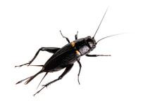 Black Cricket Animal Isolated ...