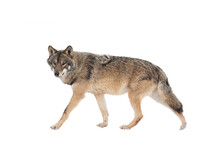 Walking Gray Wolf Isolated On White Background.