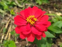 (paper Flower) Ornamental Pink Flower. Zinnia Elegans Is One Of The Most Famous Seasonal Flowering Plants Of The Genus Zinia