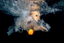 Golden Retriever Dog  Looking Under Water With Orange Halloween Pumpkin
