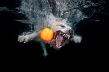 Golden Retriever Dog With Oran...