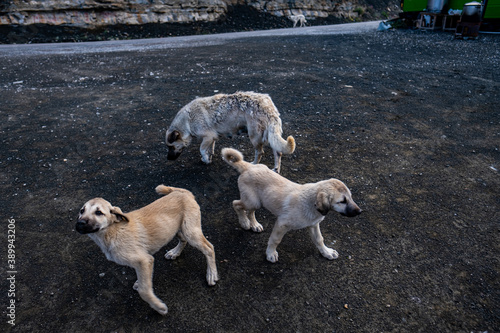 Canvastavla White dogs labrador puppies playing near a green campervan