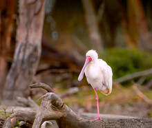 Closeup Of African Spoonbill With Classic One Leg Standing Pose