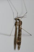 Crane Fly Tipula Maxima On A W...