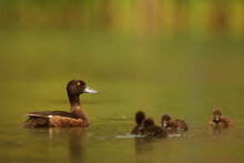 Tufted Duck (Aythya Fuligula) ...