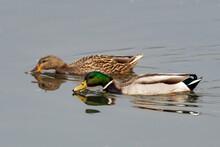Male And Female Mallard Ducks ...