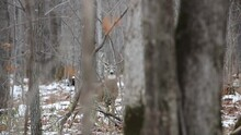 White-tailed Buck (Odocoileus Virginianus) During Rut Being Alert And Cautious And Running Away In The Forest During Autumn With Snow On Ground