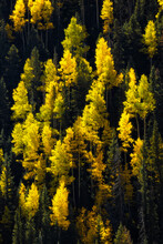 Golden Fall Aspen Mixed With Evergreen Trees