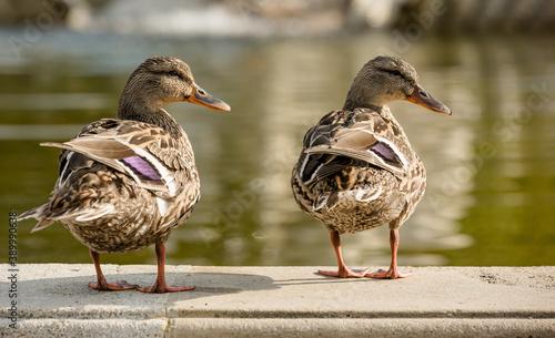 Fotografia two ducks