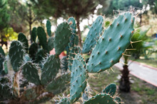 Blind Prickly Pear Cactus Field. Closeup View Of Green Cacti Leaves With Sharp Spines. Beautiful Tropical Background. Growing Natural Cactuses Outdoors In The Wilderness. Bright Opuntia Rufida Species