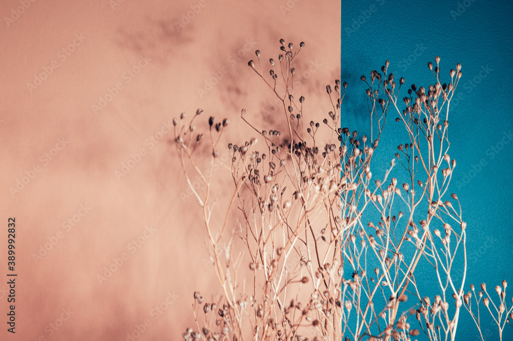 Fototapeta Home interior floral decor from natural dry flowers or twigs. Strong shadows on pink and blue background