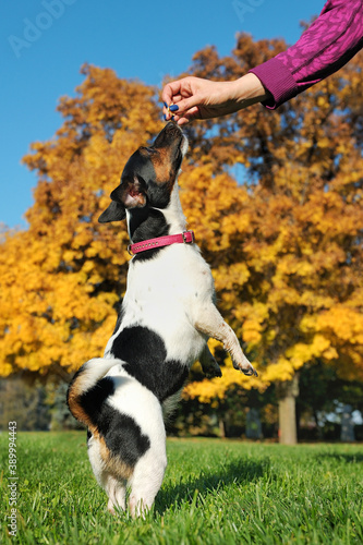 Obraz na plátne Jack russel terrier standing on hind legs at the lawn