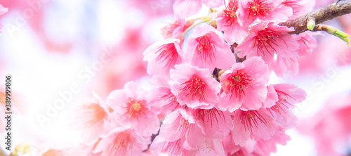 Pink cherry tree blossom flowers blooming in spring, easter time against a natural sunny blurred garden banner background of blue, yellow and white bokeh Tableau sur Toile