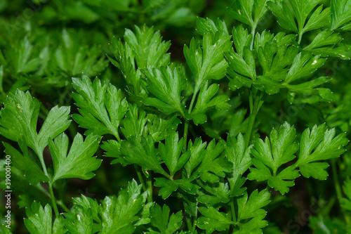 Fototapeta Closeup shot of parsley aromatic plants in Botanical Garden of Montjuic obraz
