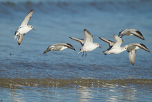 Closeup Shot Of A Flock Of Sanderling Birds Flying Over A Seawater