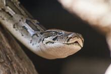 Close Up Of A Head Of A Python...