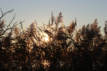 Feathery Reed Tops At The Wetl...
