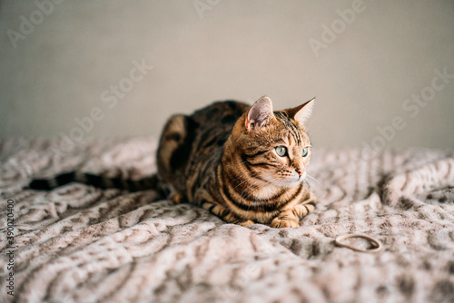 Fotografiet Closeup shot of a domesticated Bengal cat on the bed with a blurred background