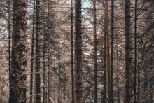 Amazing Shot Of Bare Tall Fir Tree Thin Trunks In An Old-growth Forest