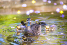 Duck And Ducklings In The Pond With Jacaranda Flower Petals.