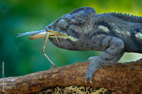 Chameleon hunting insect with long tongue Canvas-taulu