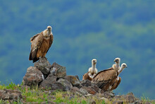 Griffon Vulture, Gyps Fulvus, Big Birds Of Prey Sitting On Rocky Mountain, Nature Habitat, Madzarovo, Bulgaria, Eastern Rhodopes. Wildlife From Balkan. Wildlife Scene From Nature. Blue Flower On Rock.