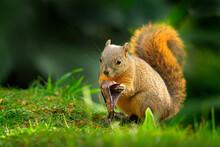Variegated Squirrel, Sciurus V...