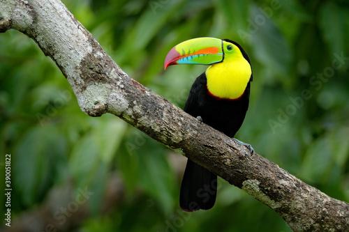 Fototapeta premium Jungle wildlife, Mexico. Toucan in green forest.