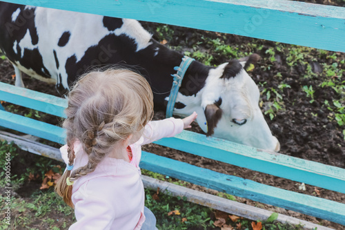 Fototapeta Little girl with pigtails over the fence stroking a black and white cow obraz