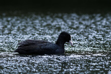 Closeup Of A Coot Swimming On ...