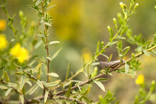 Yellow Green Flower On Field Plant Hypericum Perforatum St. John's Wort Grasshopper Sitting On Leaf
