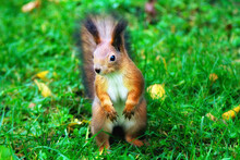 Red Squirrel  On Green Grass C...