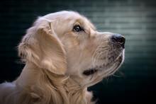 Retrato De Perro De La Raza Go...