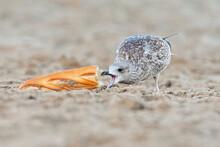 Immature Gull Eating Bread