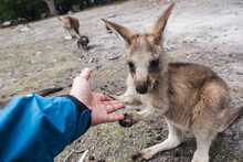 Young Curious Kangaroo Holding Fingers Of A Visitor