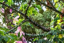 The Branch Of The Ceiba Specio...
