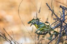 Orange Breasted Bushshrike Hiding In The Bush In Kruger National Park, South Africa ; Specie Laniarius Brauni Family Of Malaconotidae