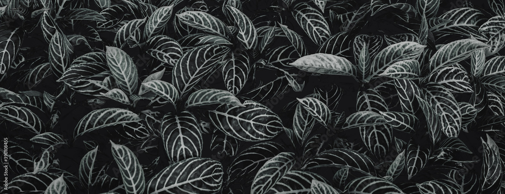 Fototapeta Textures of natural abstract black leaves for tropical leaf background, black and white images