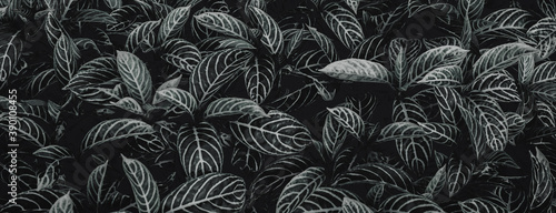 Fényképezés Textures of natural abstract black leaves for tropical leaf background, black an